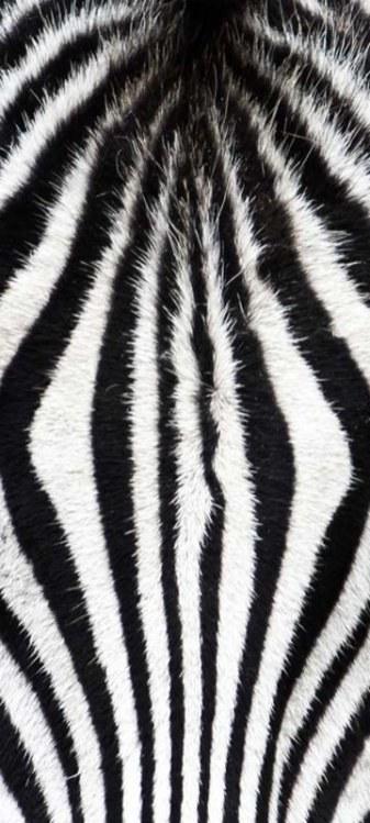 Samoljepljiva foto tapeta za vrata DL060 Zebra, 95x210 cm - Foto tapete