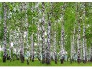 Flis foto tapeta AG Šuma od breze FTNS-2448 | 360x270 cm Foto tapete