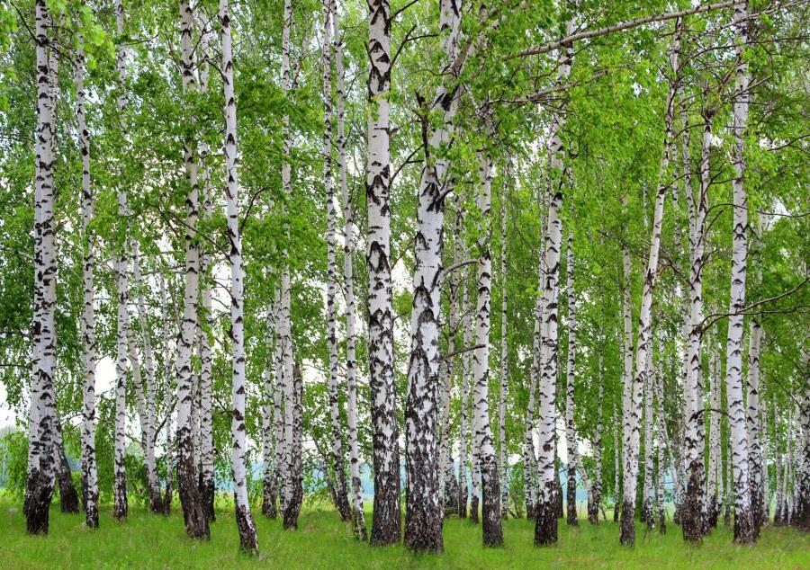 Flis foto tapeta AG Šuma od breze FTNS-2448 | 360x270 cm - Foto tapete