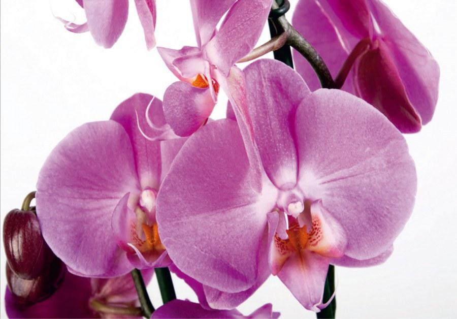 Flis foto tapeta AG Orhideja FTNS-2459 | 360x270 cm - Foto tapete