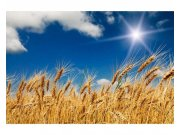 Flis foto tapeta Pšenično polje MS50136 | 375x250 cm Foto tapete