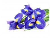 Flis foto tapeta Iris MS50149 | 375x250 cm Foto tapete