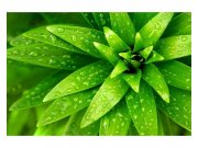 Flis foto tapeta Svježe lišće MS50153 | 375x250 cm Foto tapete