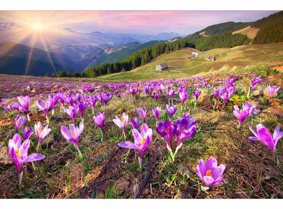 Flis foto tapeta Šafrani na proljeće MS50064   375x250 cm - Foto tapete