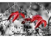 Flis foto tapeta Crveno lišće na crnoj pozadini MS50110 | 375x250 cm Foto tapete