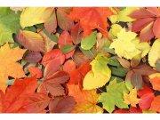 Flis foto tapeta Šareno lišće MS50115 | 375x250 cm Foto tapete