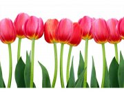 Flis foto tapeta Tulipani MS50126 | 375x250 cm Foto tapete