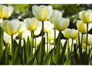 Flis foto tapeta Bijeli tulipani MS50127 | 375x250 cm Foto tapete