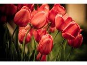 Flis foto tapeta Crveni tulipani MS50128 | 375x250 cm Foto tapete