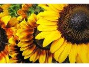 Flis foto tapeta Suncokreti MS50130 | 375x250 cm Foto tapete