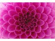 Flis foto tapeta Ružičasta dalija MS50132 | 375x250 cm Foto tapete