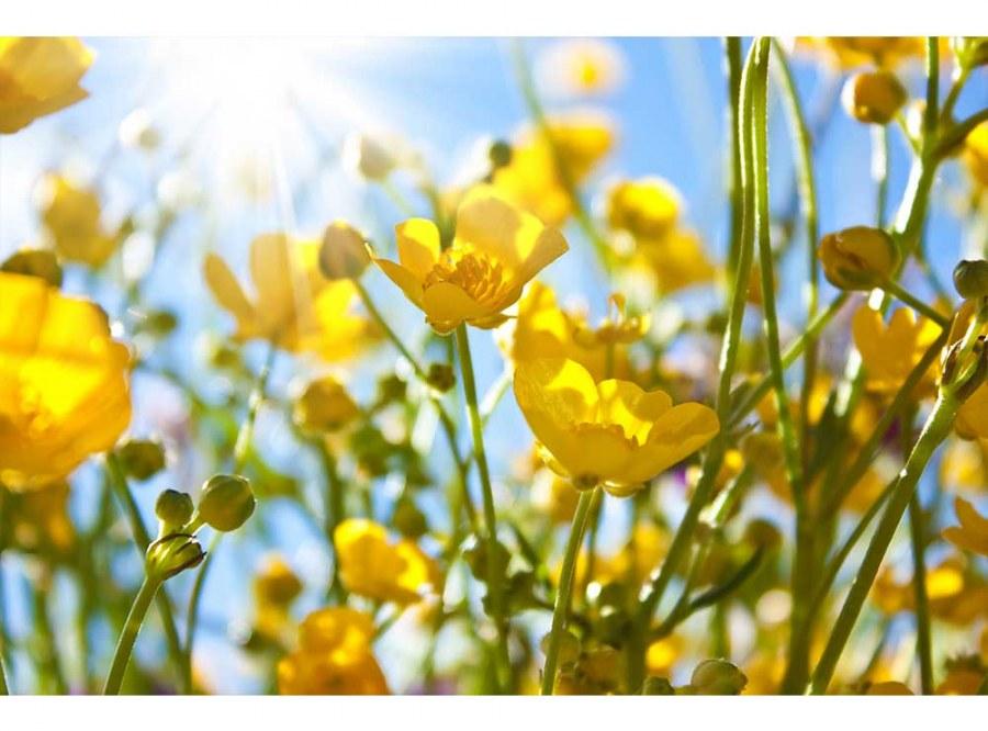Flis foto tapeta Žuto cvijeće MS50134 | 375x250 cm - Foto tapete