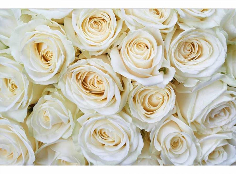 Flis foto tapeta Bijele ruže MS50137 | 375x250 cm - Foto tapete
