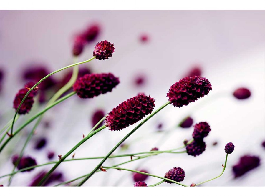 Flis foto tapeta Ljubičasti cvijet MS50141 | 375x250 cm - Foto tapete