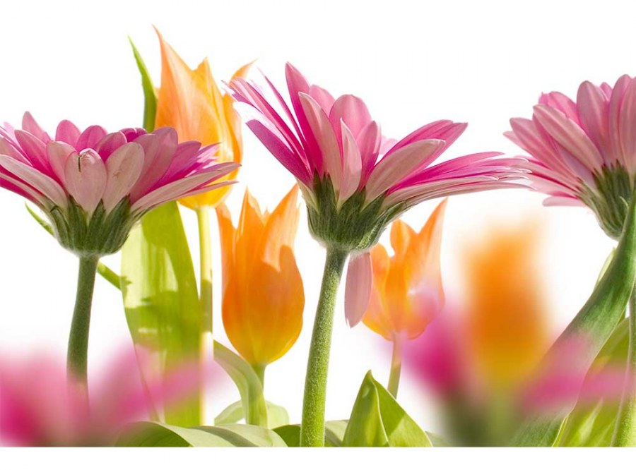 Flis foto tapeta Proljetni cvijet MS50142 | 375x250 cm - Foto tapete