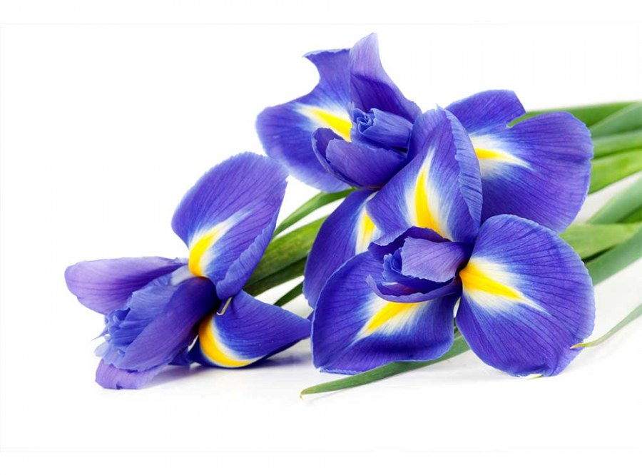 Flis foto tapeta Iris MS50149 | 375x250 cm - Foto tapete