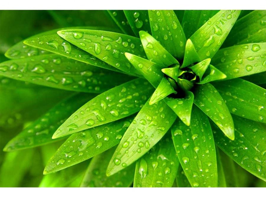 Flis foto tapeta Svježe lišće MS50153   375x250 cm - Foto tapete