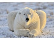 Flis foto tapeta Polarni medvjed MS50220 | 375x250 cm Foto tapete