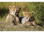 Flis foto tapeta Gepardi MS50229 | 375x250 cm Foto tapete
