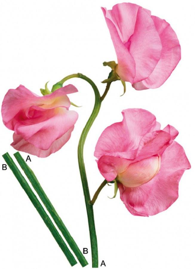 Naljepnica za zid Pink flower F-0402, 85x65 cm - Naljepnice za zid
