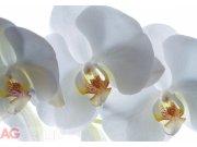 Foto tapeta AG Bijela Orhideja FTXXL-0190 | 360x255 cm Foto tapete